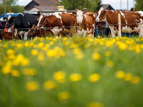 Ausgewählt wurden Tiere der Rassen Simmentaler, Montbéliard, Swiss Fleckvieh und Holstein/Red Holstein. (Bild: KEYSTONE/VALENTIN FLAURAUD)