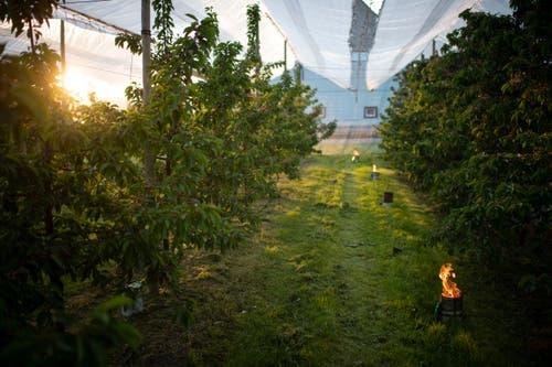 Die Frostnächte Anfang Mai könnten verheerende Folgen für den Schweizer Obstbau haben. (Bild: Gian Ehrenzeller/Keystone, Opfershofen, 7. Mai 2019)
