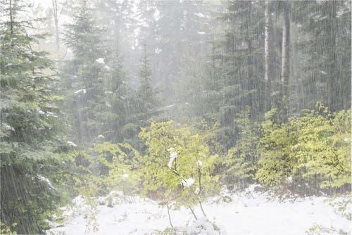Schneeregen am Sonntag im Peter-und-Paul-Wald. Gar so schlimm sollte es am kommenden Wochenende nicht werden, auch wenn von Samstag bis Mittwoch in einer Woche die Eisheiligen herrschen. (Leserbild: Ueli Bächtold - 5. Mai 2019)