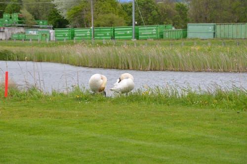 Zwei Schwäne auf dem Golfplatz pflegen ihr Fell. (Bild: Alexandra Gächter)