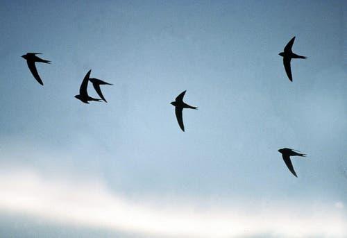 Eine Gruppe von Mauerseglern fliegt in der Abendämmerung. So sind die flinken Flieger derzeit regelmässig über der Stadt St.Gallen zu sehen. Von Schwalben, mit denen sie nicht verwandt sind, können sie aufgrund ihrer sichelförmigen Flügel gut unterschieden werden. (Bild: Schweizer Vogelschutz SVS/KEY - 1. Juli 2005)