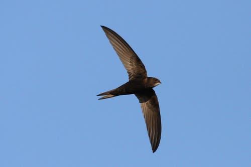 Ein erwachsener Mauersegler im Flug. Typisch sind die sichelartigen Flügel. (Bild: PD - 22. Juni 2018)