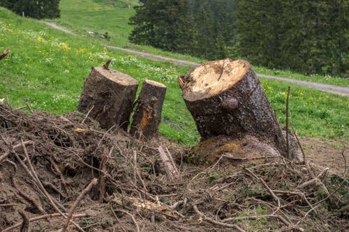 Auf der Alp Fräkmünt ist eine Lawine niedergegangen und hat ganze Baumstrünke mitgerissen. (Bilder: Dominik Wunderli, 18. Juni 2019)