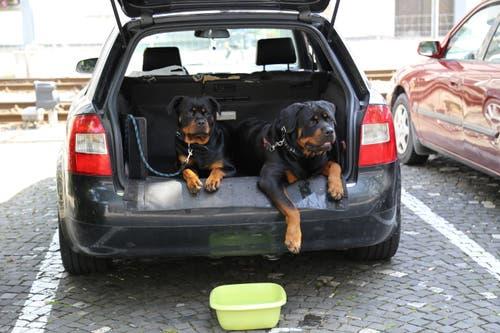Auch Tiere leiden unter der Hitze. Versorgen Sie deshalb Hunde mit ausreichend Trinkwasser und lassen Sie sie nicht im Auto eingesperrt zurück. (Foto: Ines Biedenkapp, Rorschach, 25. Juni 2019)