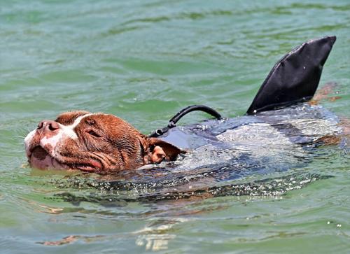 Ein Hund geniesst die Abkühlung in der Aare. (Bild: Bruno Kissling)