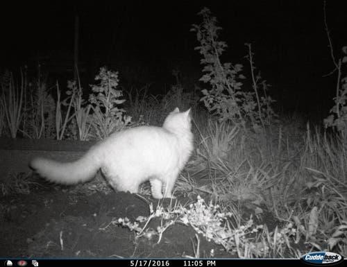 Auch sie geraten natürlich in die Fotofallen: Porträt einer Katze in einem Gartenbeet an der Lilienstrasse. (Bild: José Martinez - 17. Mai 2016)