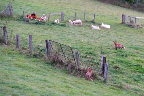 Mit der Normalkamera «geschossen»: Zwei Füchse und einige nicht wirklich beunruhigte Schafe am Freudenberghang. (Leserbild: Klaus Stadler - 16. Oktober 2016)