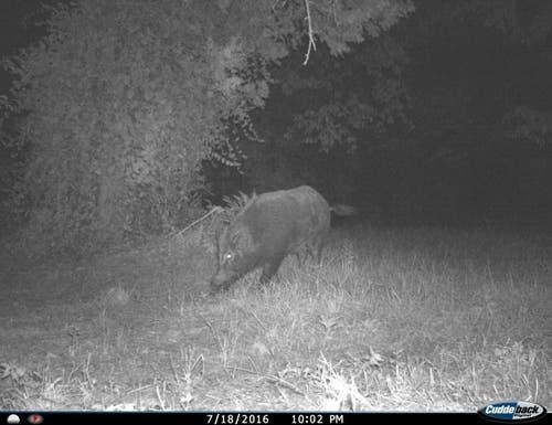 So schön kriegt man sie selten vor die Linse: ein Wildschwein auf nächtlicher Erkundungstour. (Bild: Reto Voneschen - 18. Juli 2016)