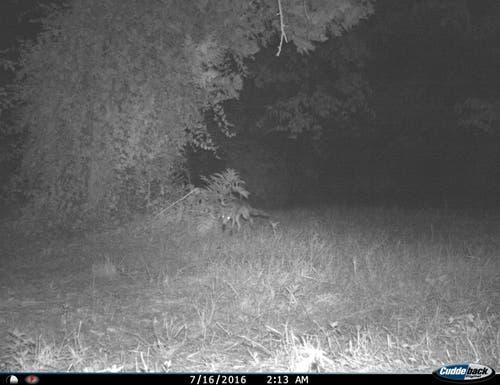 Der Fuchs markiert beim Vorbeigehen rasch noch an einen Busch. (Bild: Reto Voneschen - 16. Juli 2016)