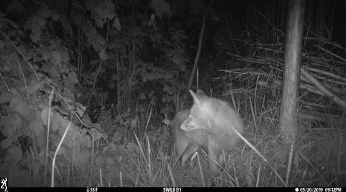 Der Fuchs hat etwas gehört. (Bild: Lisa Häfliger - 20. Mai 2019)