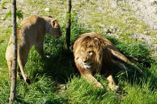 Die Berberlöwen Lin und Atlas. (Bild: Walter Zoo)