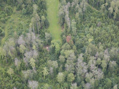 Trockenheitsschäden in einem Mischwald in der Nähe von Pruntrut JU im Juni 2019: In der Mitte (rot) eine tote Weisstanne, im Vordergrund tote Buchen (grau). Links von der Wiese schwächelnde Fichten. Auffällig ist, dass junge Bäume intakt sind und nur hohe Bäume durch die Trockenheit Schaden nahmen. (Bild: Valentin Queloz/WSL)