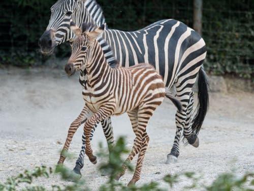 Das Zebrafohlen Quagga trabt durch die Basler Afrikaanlage. (Bild: Zoo Basel/Torben Weber)