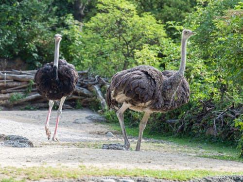 Die beiden neuen Strausse im Basler Zoo. (Bild: Zoo Basel/Torben Weber)