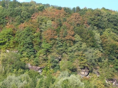 In einem Mischwald in der Nähe von Mels sind Ende Juli 2018 schon zahlreiche Buchenkronen vergilbt oder teilweise entlaubt als Folge der Trockenheit. Jenes Areal liegt an einem Nordosthang in rund 600 Metern Höhe auf flachgründigem Boden. (Bild: Lorenz Walthert, WSL)