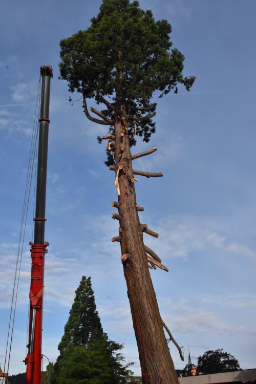Am Mittwoch wurde der Mammutbaum entastet. Der grosse Kran steht bereit, um den Stamm stückweise zu Boden zu lassen. (Bilder: Mea McGhee)