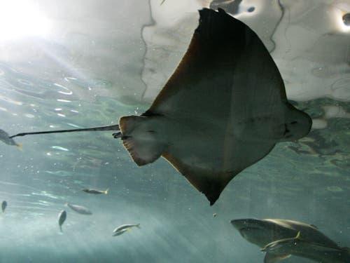 Für Rochen ist das Mittelmeer ein unsicherer Lebensraum geworden. (Bild: KEYSTONE/AP/MARK BAKER)