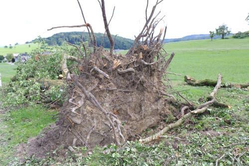 In Busswil wurde ein Obbaum samt Wurzelwerk aus dem Boden gerissen.