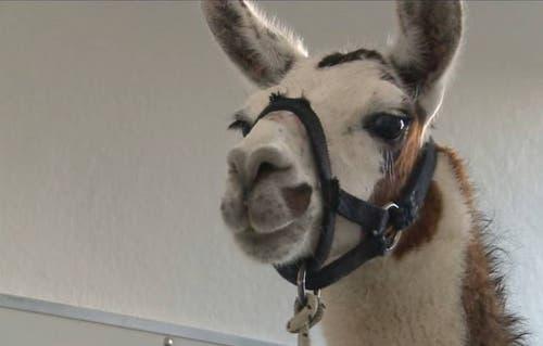 Das Lama war an einem Montag am Bahnhof Rupperswil aufgetaucht und lief dort über die Gleise. Später stellte sich heraus: Das Tier war in Lenzburg vom Circus Royal davongelaufen. (Bild: Zur Verfügung gestellt)