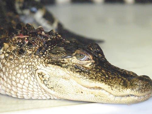 Ein Alligator: Der Kaiman gehört zur Unterfamilie der Alligatoren, innerhalb der Krokodile. (Bild: KEYSTONE/AP LUDINGTON DAILY NEWS/JEFF KIESSEL)