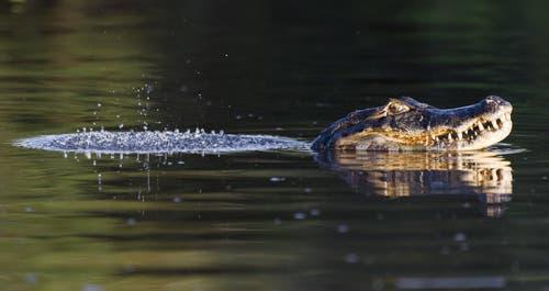 Am Sonntagabend hat ein Fischer einen Kaiman im Hallwilersee beobachtet. Ein Bild des Reptils existiert nicht. (Symbolbild) (Bild: imago)