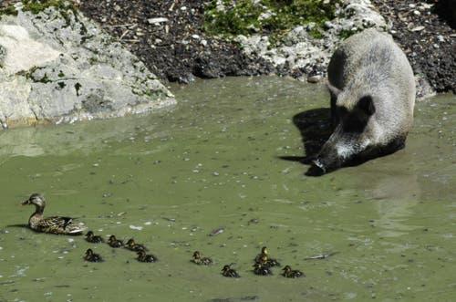 Das Wildschwein in der Suhle beobachtet die vorbeischwimmende Entenfamilie. (Bild: Tierpark Goldau)