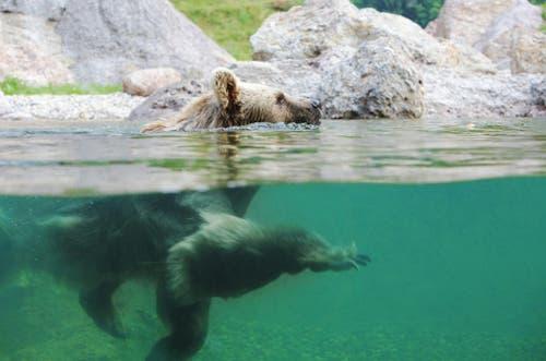 Der Braunbär gönnt sich einen Schwumm. (Bild: Tierpark Goldau)