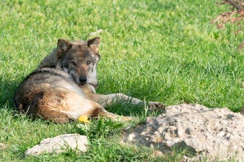 Der Wolf hat sich ein Schattenplätzchen gesucht. (Bild: Tierpark Goldau)