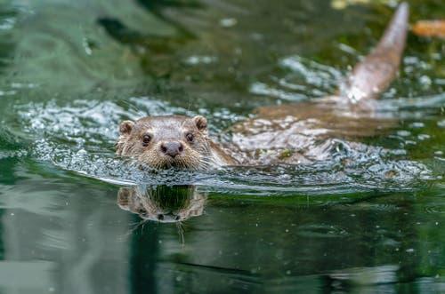 Im Tierpark Goldau lässt sich dieser Fischotter von seiner natürlichen Umgebung kühlen. (Bild: Tierpark Goldau)