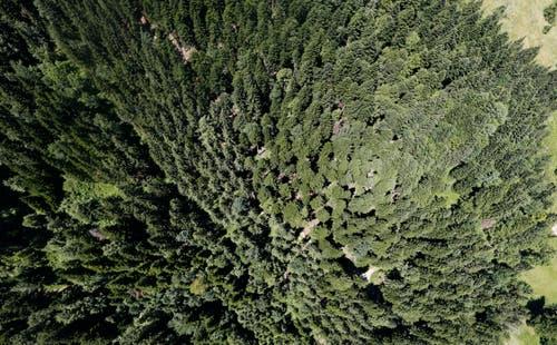 Ein Blick von oben auf den Wald auf dem Zugerberg. (Bild: Stefan Kaiser, 1.Juli 2015)