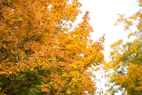 Im Herbst leuchten die Bäume auch im Kanton Zug golden bis orange. (Bild: Maria Schmid, Cham, 8. Oktober 2015)
