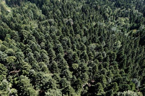 Die Waldgesellschaft im Zugerberg gehört zu der mittleren Lage. (Bild: Stefan Kaiser, 1. Juli 2015)