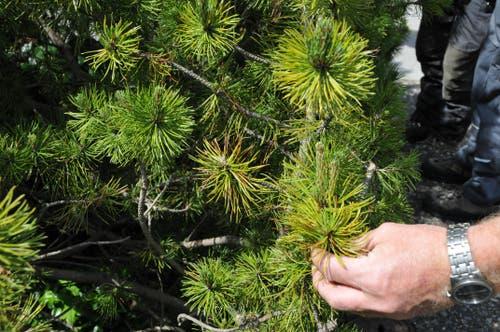 Bäume haben teilweise auch mit Krankheiten zu kämpfen. So etwa die Föhre mit der Braunfleckenkrankheit. (Bild: Robert Hess, Giswil, 5. Mai 2014)