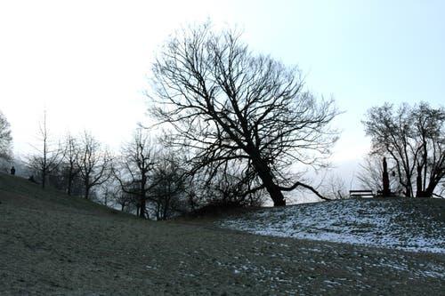 Buchen sind oftmals in mittleren Lagen zu finden. Die im Bild stand in der Gemeinde Menzingen, bis sie umgefallen ist. (Bild: Christof Borner-Keller, 11. Februar 2008)