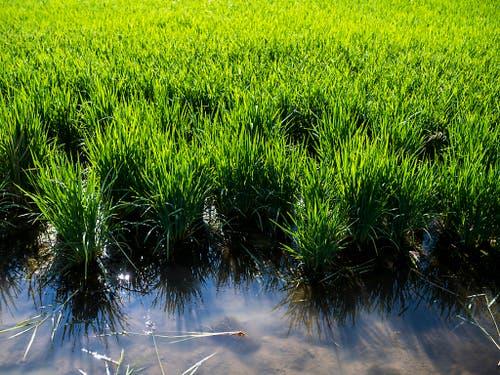 Das Reisfeld muss völlig ausnivelliert sein, damit der Wasserstand konstant bleibt. (Bild: Keystone/JEAN-CHRISTOPHE BOTT)