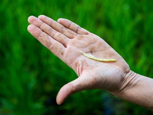 Das Wetter der kommenden Tage wird entscheidend sein für die Reisernte im Herbst. Aktuell blüht der Reis. Der Wind kann die Pollen nur bei trockenem Wetter optimal transportieren. (Bild: Keystone/JEAN-CHRISTOPHE BOTT)