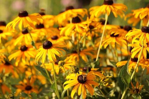 Ein Meer voller gelben Sonnenhüte. (Bild: Irene Wanner, Schötz, 10. August 2019)