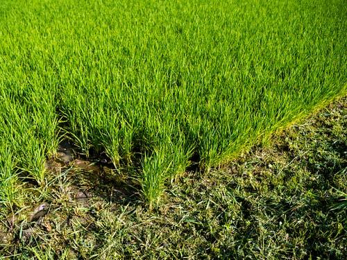 Reiskulturen schaffen Feuchtgebiete, die für die Biodiversität wichtig sind. (Bild: Keystone/JEAN-CHRISTOPHE BOTT)