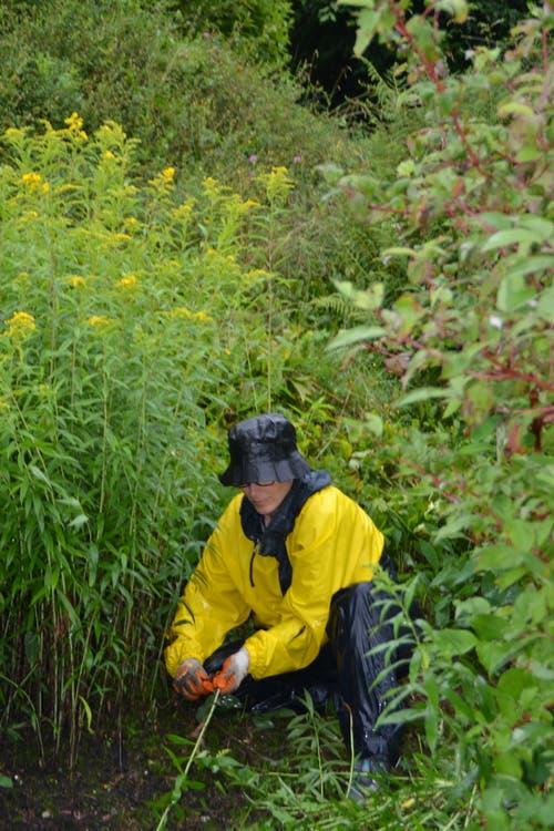 Eva Anderegg reisst die unerwünschte kanadische Goldrute mit den Wurzeln aus.