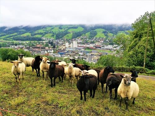 Neugierige Schafe im Regenwetter bemustern den Fotografen. Im Hintergrund sieht man eine dicke Nebelwand oberhalb von Malters/LU. (Bild: Urs Gutfleisch, Malters, 12. August 2019)