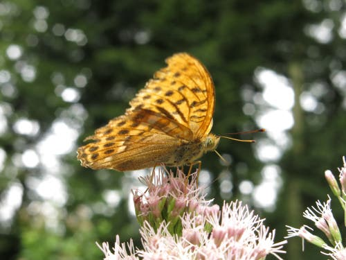 Kaisermantel: In Wäldern verbreiteter Schmetterling. (Bild: Irene Wanner, Schötz, 13. August 2019)