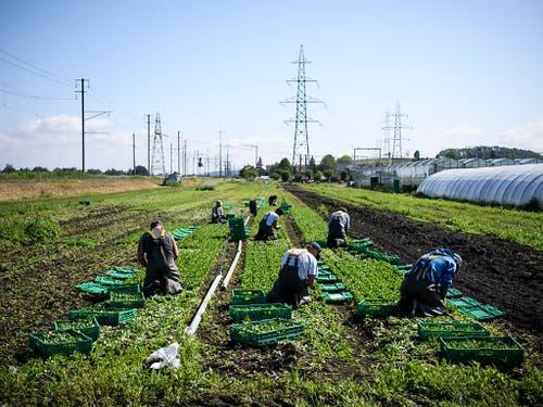 Vor allem der Ackerbau im Mittelland setzt dem Grundwasser zu. (Bild: KEYSTONE/ANTHONY ANEX)