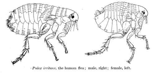 Menschenfloh: 1 – 4 mm gross, saugt Blut, lebt in dunklen Ritzen des Bettes. (Bild: Wikipedia/Medical and Veterinary Entomology (1915))