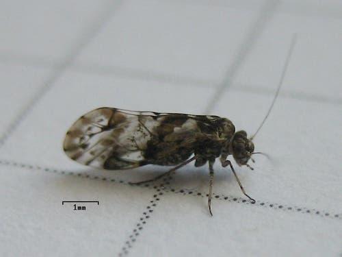 Staublaus: 0,6 – 1,8 mm grosses Insekt, Allesfresser, bevorzugt feuchte Orte im Haus. (Bild: Wikipedia)