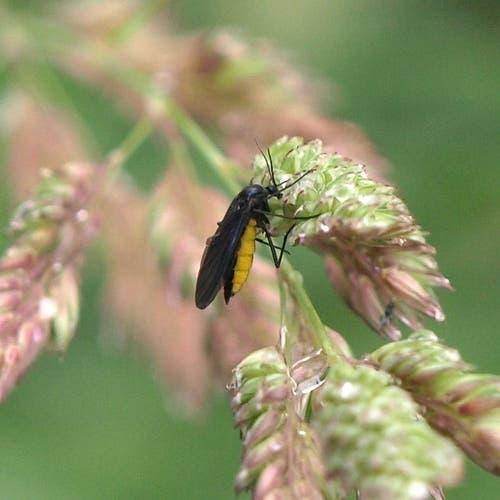 Trauermücke und Gallmücke: 1 – 7 mm respektive 0,5 – 4 mm gross, fressen organisches Material oder Pilze, leben in Topfpflanzen, aber mehrheitlich in der Natur. (Bild: Wikipedia)