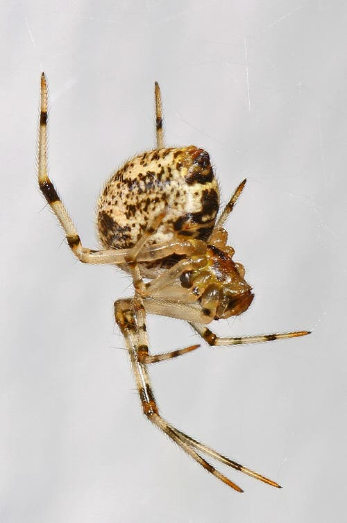 Gewächshausspinne: 3,4 – 7 mm gross, fängt Insekten in Spinnfäden, die häufig mit Staub bedeckt sind in Kellern und Hausdurchgängen. (Bild: Wikipedia)