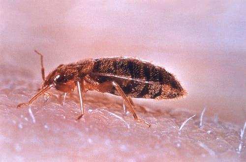 Bettwanze: ca. 3,8 – 5,5 mm gross, saugt Blut, lebt in Ritzen im Zimmer. (Bild: Wikipedia)