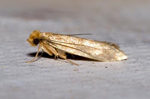 Kleidermotte: 6 – 9 mm grosser Schmetterling, die Raupe frisst Wolle und Pelze und lebt in Kleiderschränken, Polstermöbeln oder Teppichen. (Bild: Wikipedia/Olaf Leillinger)
