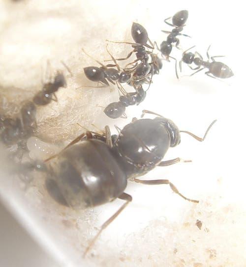 Wegameise: 1,5 – 3 mm gross, nistet meist im Aussenbereich, Allesfresser - vorzugsweise Süsses. (Bild: Wikipedia)