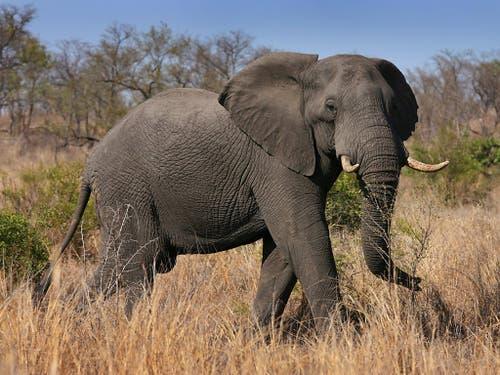 Ein Afrikanischer Elefant im Kruger National Park in Südafrika. Der Handel mit Elfenbein soll weiter verboten und Elefanten damit geschützt bleiben. (Bild: KEYSTONE/EPA/JON HRUSA)